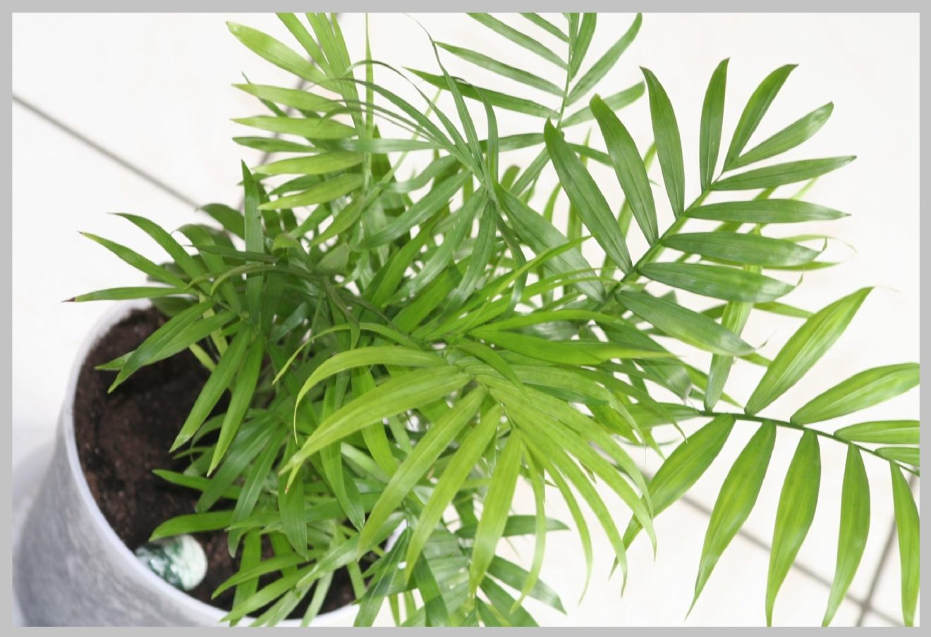 Bamboo Palm Benefits Easy Maintain Indoor Plants