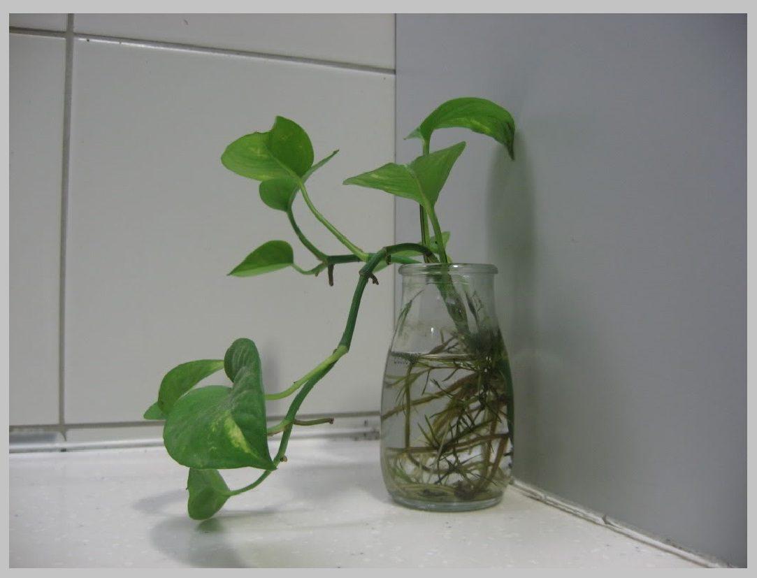 Money Plant In Water Easy Maintain Indoor Plants