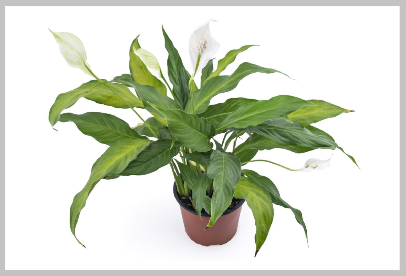 Peace Lily Uses