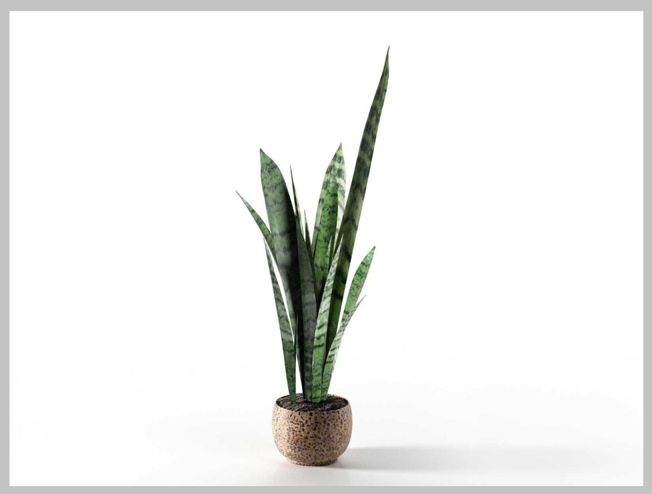 About Snake Plant