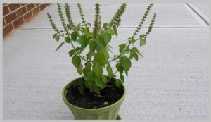 Growing Basil Inside House In Pot Easy Maintain Indoor Plants